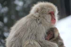 Read more about the article Snow Monkeys of Japan-a unique encounter
