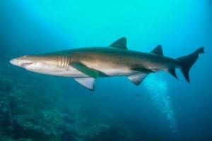 Read more about the article Dive Port Stephens- shark encounter