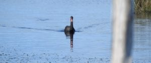 Read more about the article Swan Lake Phillip Island – A peaceful bird sanctuary.
