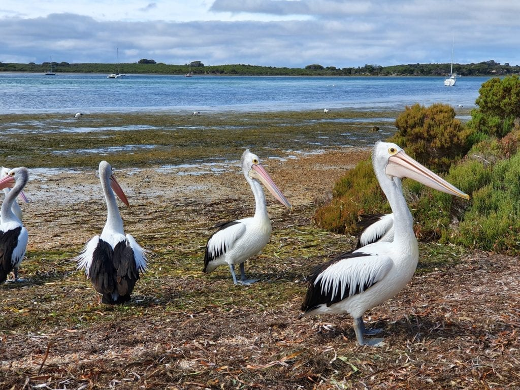 Pelicans waiting for a feed