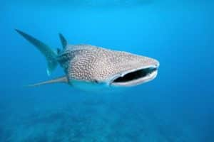 Swim with Whale Sharks Maldives – which resorts & prices